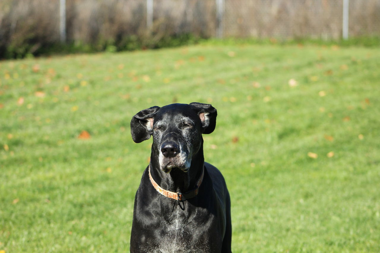 Beautiful stock photos of great dane,  Black Color,  Canine,  Carnivora,  Day