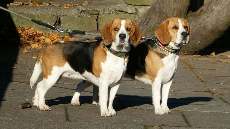 Two Is Better Than One Domestic Animals Pets Dog No People Togetherness Simple Quiet Love Beagles Of Eyyem Ginger And White Waiting Loyal Patientlywaiting  Patient Cute Pets Sunlight EyeEmBestPics Eyeemphoto
