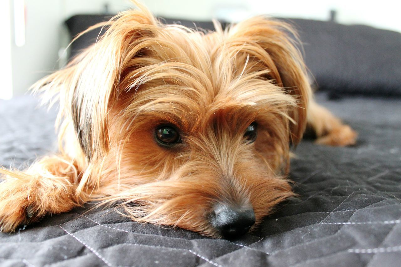 Dog Pets Looking At Camera One Animal Portrait Mammal Animal Themes Domestic Animals Close-up Relaxation No People Indoors  Day Dog On The Bed Lazy Dog Laziness Animals Dogs Of EyeEm Dogs Yorkshireterrier Yorkshire Pets In The House Yorkshire Terrier Lying Down