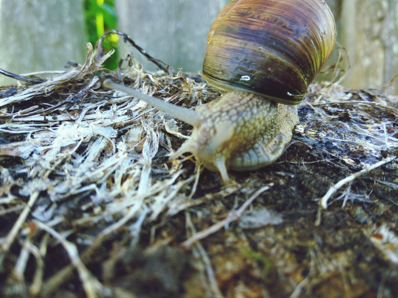 animal themes, one animal, animals in the wild, snail, wildlife, gastropod, nature, no people, close-up, day, outdoors, animal wildlife, fragility