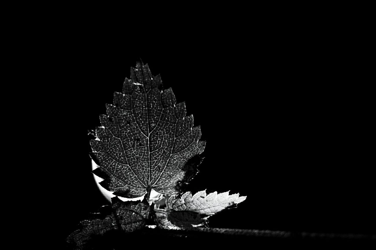 Leaf in front of a flashlight. Taken with a smartphone. Black Background InTheDark Leaf Veins Blackandwhite Photography Nature Photography Minimalistic Light And Dark At Night Outdoors