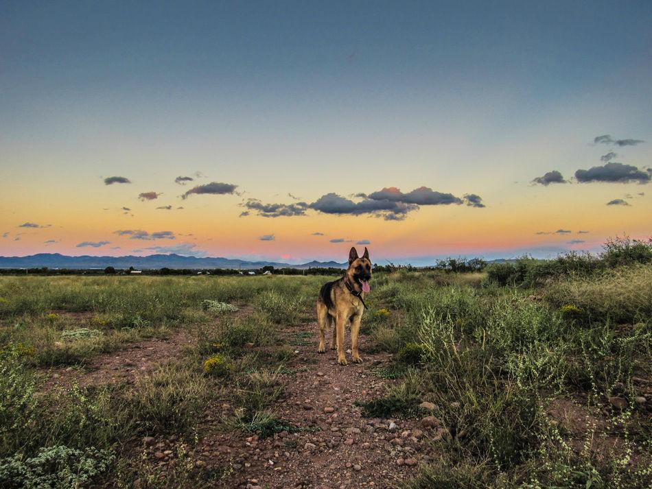 Beautiful stock photos of german shepherd,  Animal Themes,  Animal Wildlife,  Animals In The Wild,  Beach