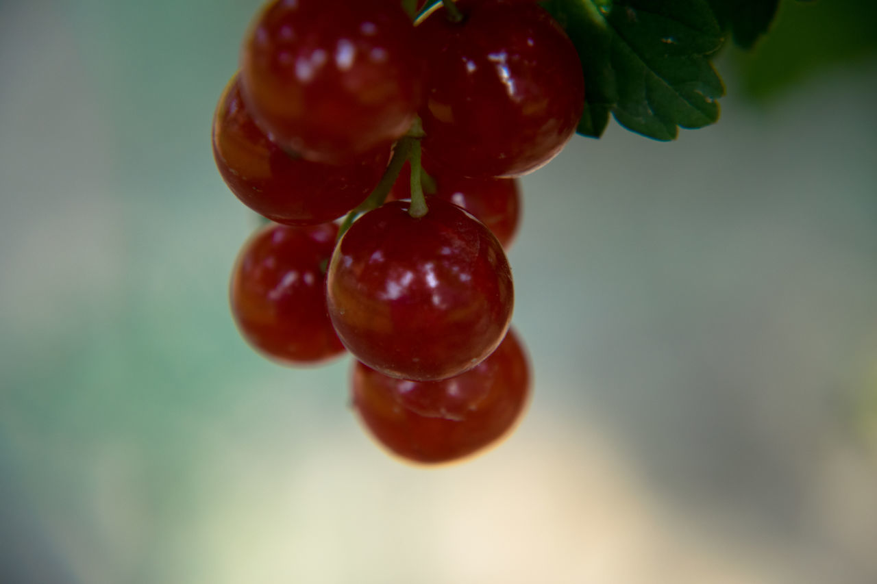 fruit, food and drink, red, food, focus on foreground, healthy eating, freshness, nature, close-up, no people, growth, outdoors, day, tree, beauty in nature, water