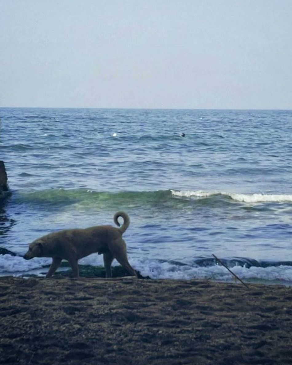 being always the secondary element. Animal Animals Dog Sea Winter Waves Snorkling Diving Swimming Water Blue Sand Beach Cressi Mobilephotography Egypt Thisisegypt Picsart Alexandria