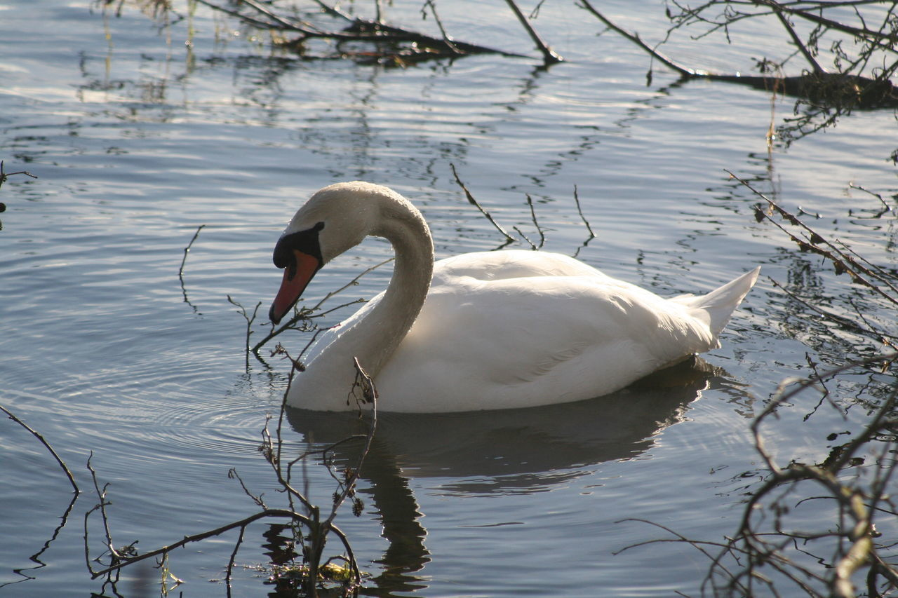 City Park Lake Water Wildlife Swan Whisbynaturepark Calmness City Escape