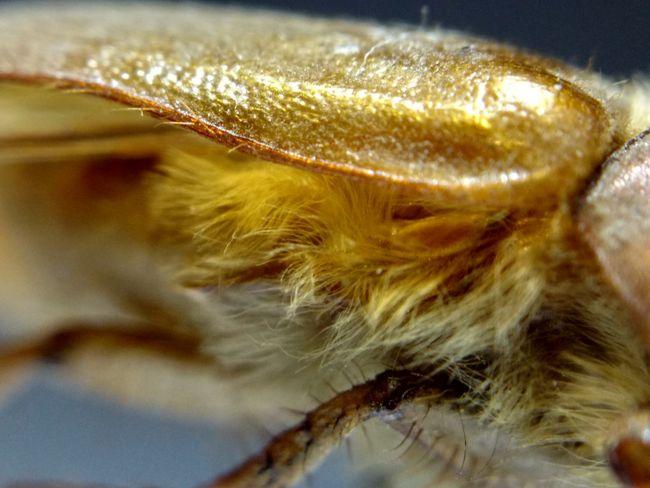 Insects  Bugs Macrophotography Beetle Macro Scarab June Bug