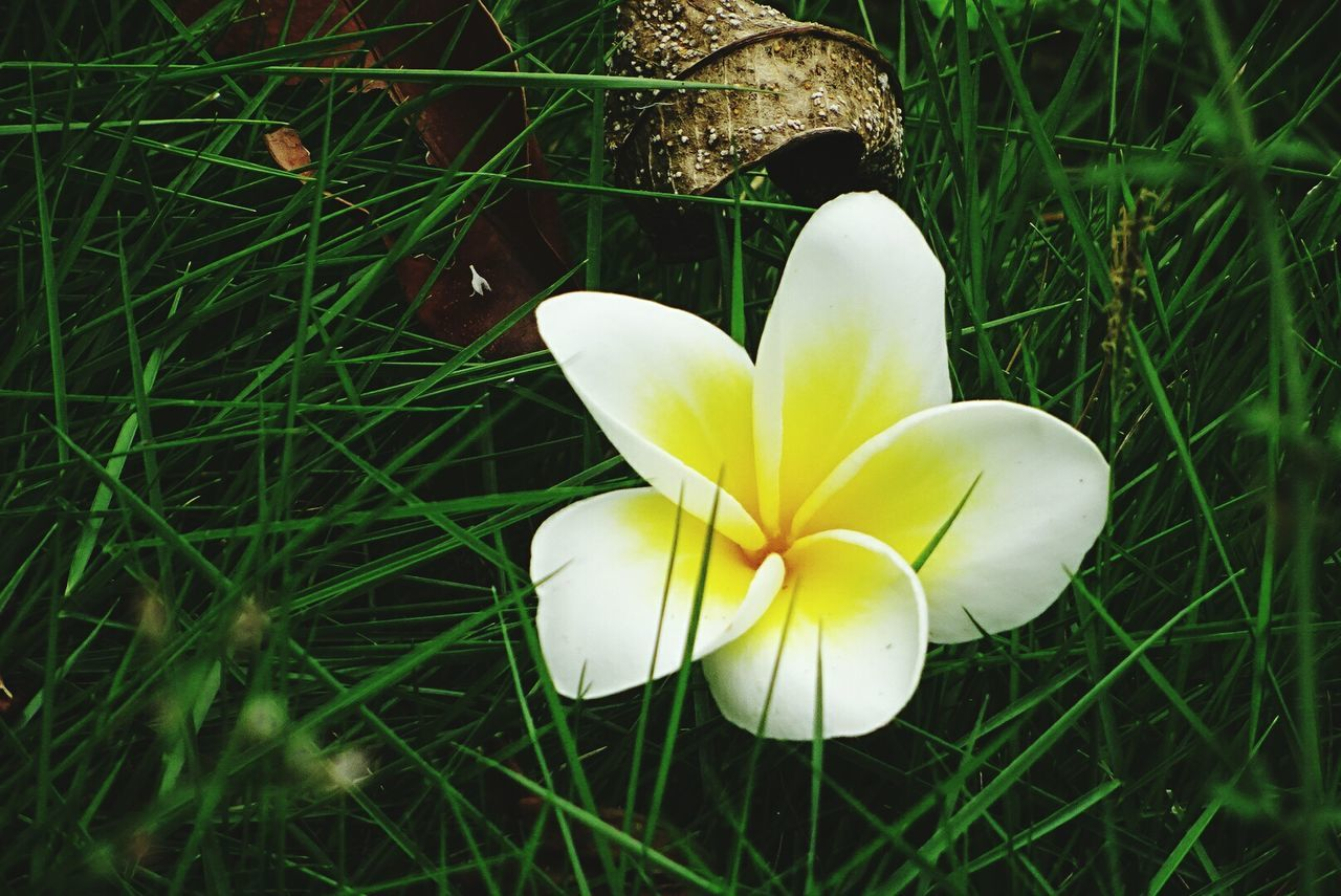 flower, petal, beauty in nature, flower head, fragility, growth, nature, freshness, white color, yellow, blooming, close-up, grass, no people, plant, day, outdoors, frangipani, snowdrop, crocus