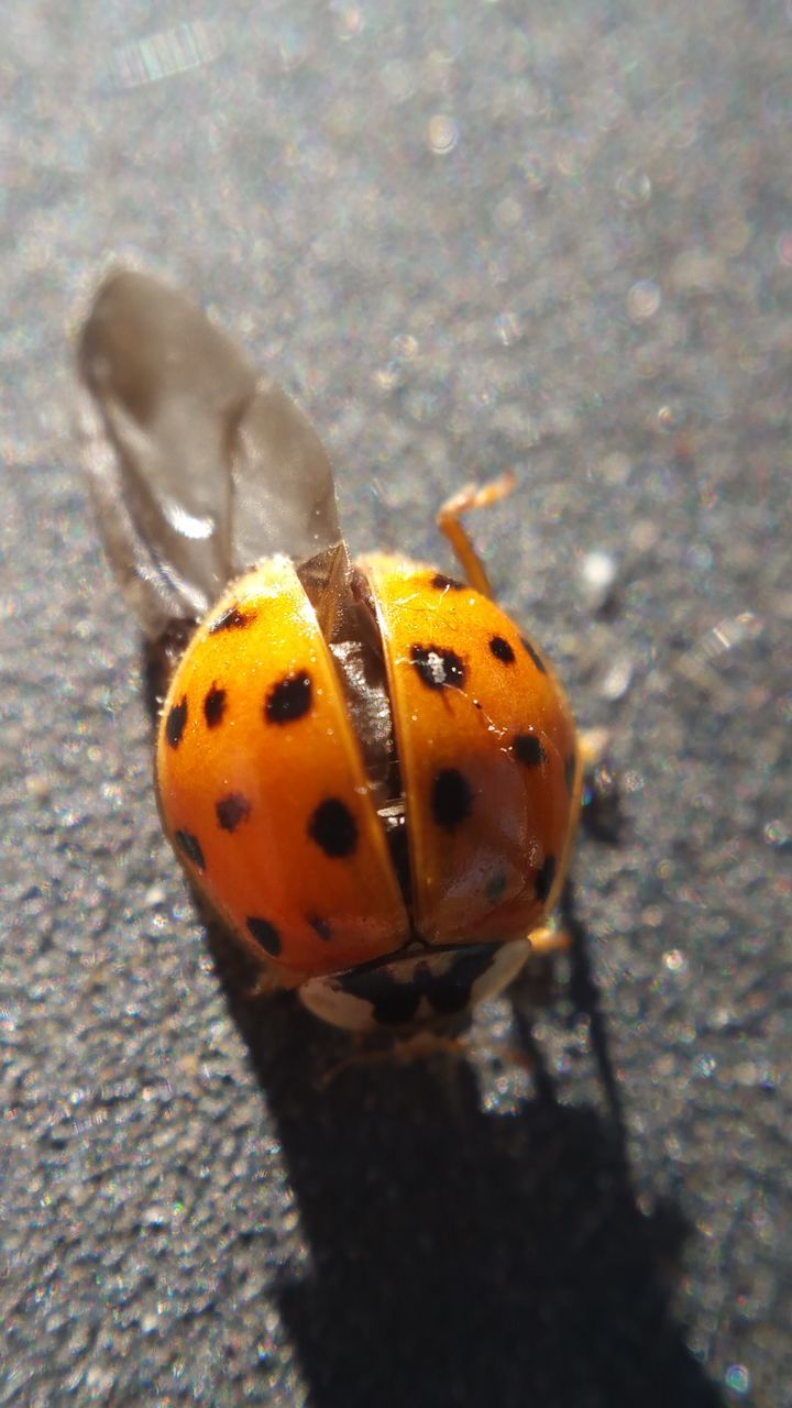 animal themes, one animal, animals in the wild, insect, close-up, high angle view, day, outdoors, wildlife, animal wildlife, no people, ladybug, animal markings, nature
