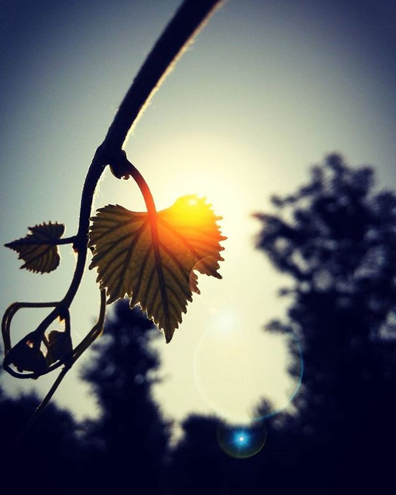 Morning Grapevine Sun Heart Leaves Romantic Month Romantic Weather Happy Kiss Day Mobilephotography Instagrammers Happyexploring