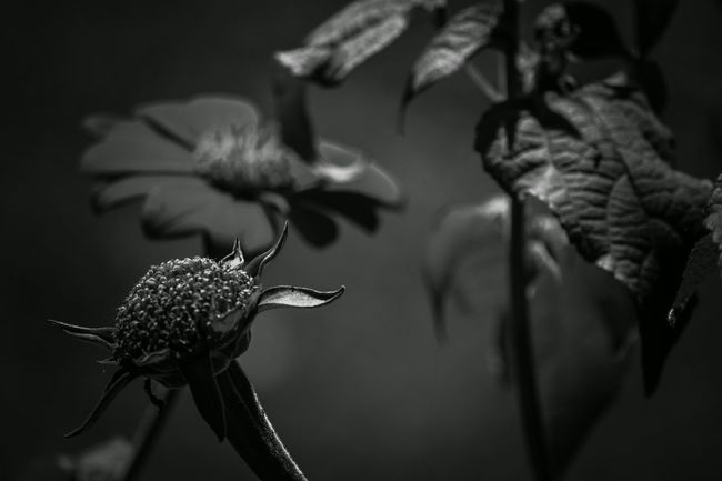 Close-up Focus On Foreground Selective Focus Nature Beauty In Nature Tranquility Freshness Focus Of Foreground Black And White Collection  Fortheloveofblackandwhite Blackandwhite Blackandwhitephotography Black And White Photography Flower Photography Flowers,Plants & Garden Flower_Collection Flowerphotography Flower Collection Nature Photography Nature_ Collection  Naturelover Flowers_collection Naturelovers Nature_perfection Nature On Your Doorstep