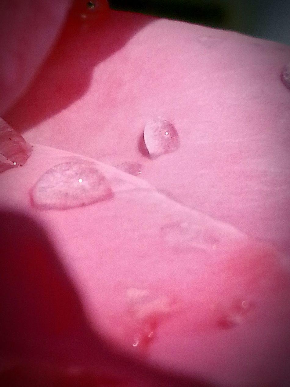 Tranquil Scene Waking Up This Morning My Rose Garden Pink Rose EyeEm Nature Lover EyeEm Gallery TruthIsBeauty Photographic Art 🌷 Jennifer @TruthIsBeauty 71 Spring Has Arrived TruthIsBeauty 💯 JustJennifer@TruthIsBeauty My Life In Photos Peace And Tranquility Nature_perfection EyeEm Best Shots - Nature Close-up Janne @swicegood. Com Getting Inspired Beautiful View The Great Outdoors - 2016 EyeEm Awards Beautiful Day No People Taking Photos Enjoying Life Eyeem Great