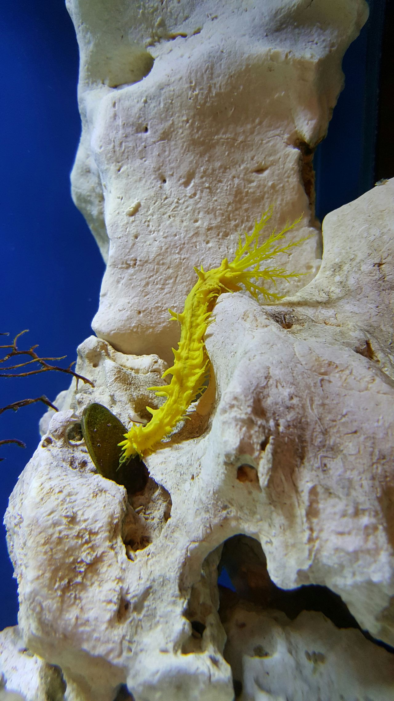 Sea Life Sea Yellow Cucumber