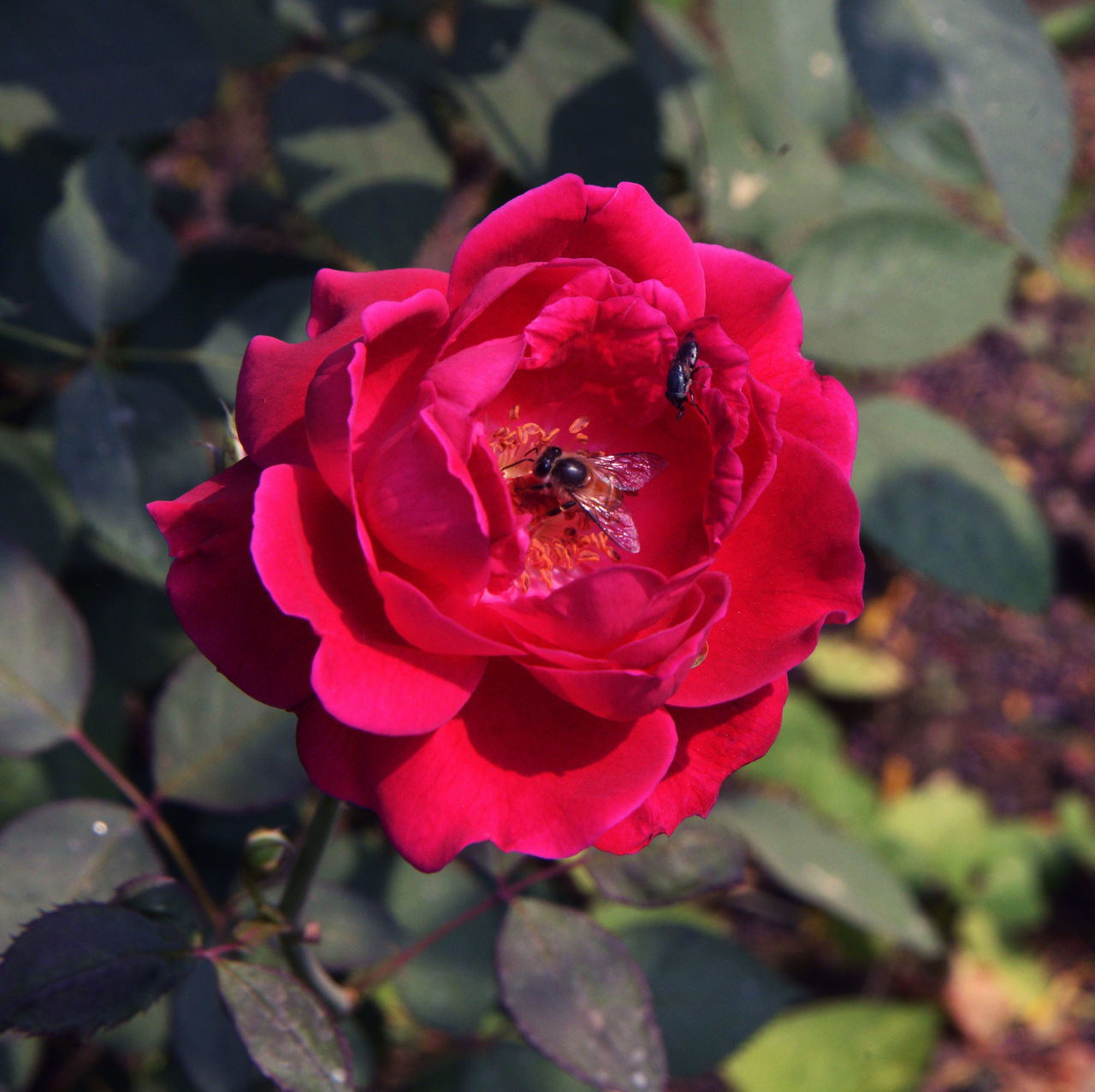 flower, petal, nature, growth, fragility, beauty in nature, insect, one animal, plant, flower head, rose - flower, animal themes, bee, no people, animals in the wild, outdoors, freshness, day, blooming, close-up