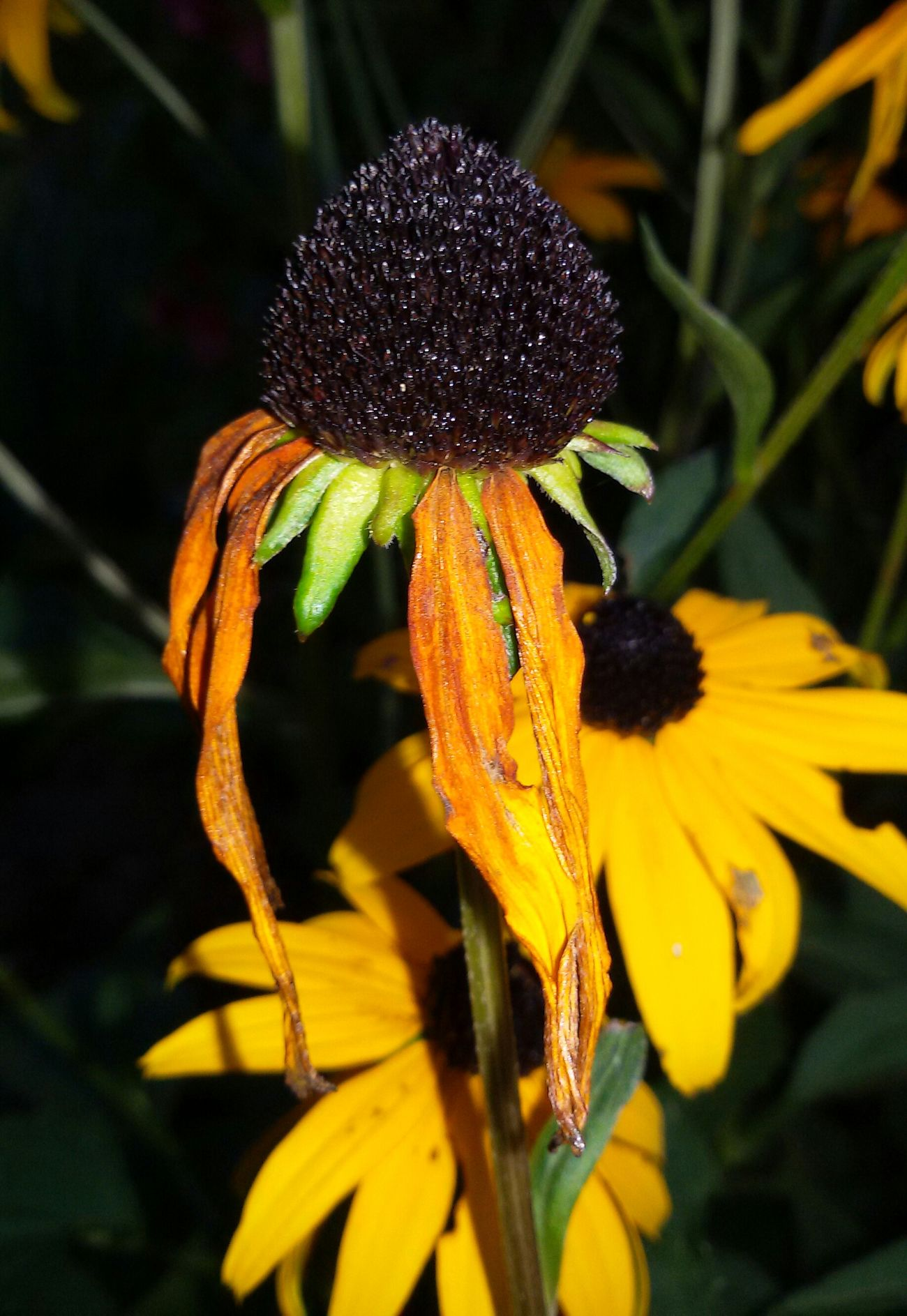 Selective Focus Close-up Sonnenhut Flower Beauty In Nature Last Summer Flower Head Focus On Foreground Nature Plant Single Flower EyeEm Nature Lover Outdoors Beauty In Nature From My Point Of View Blütenschönheit Yellow Flower No Filter, No Edit, Just Photography 😚