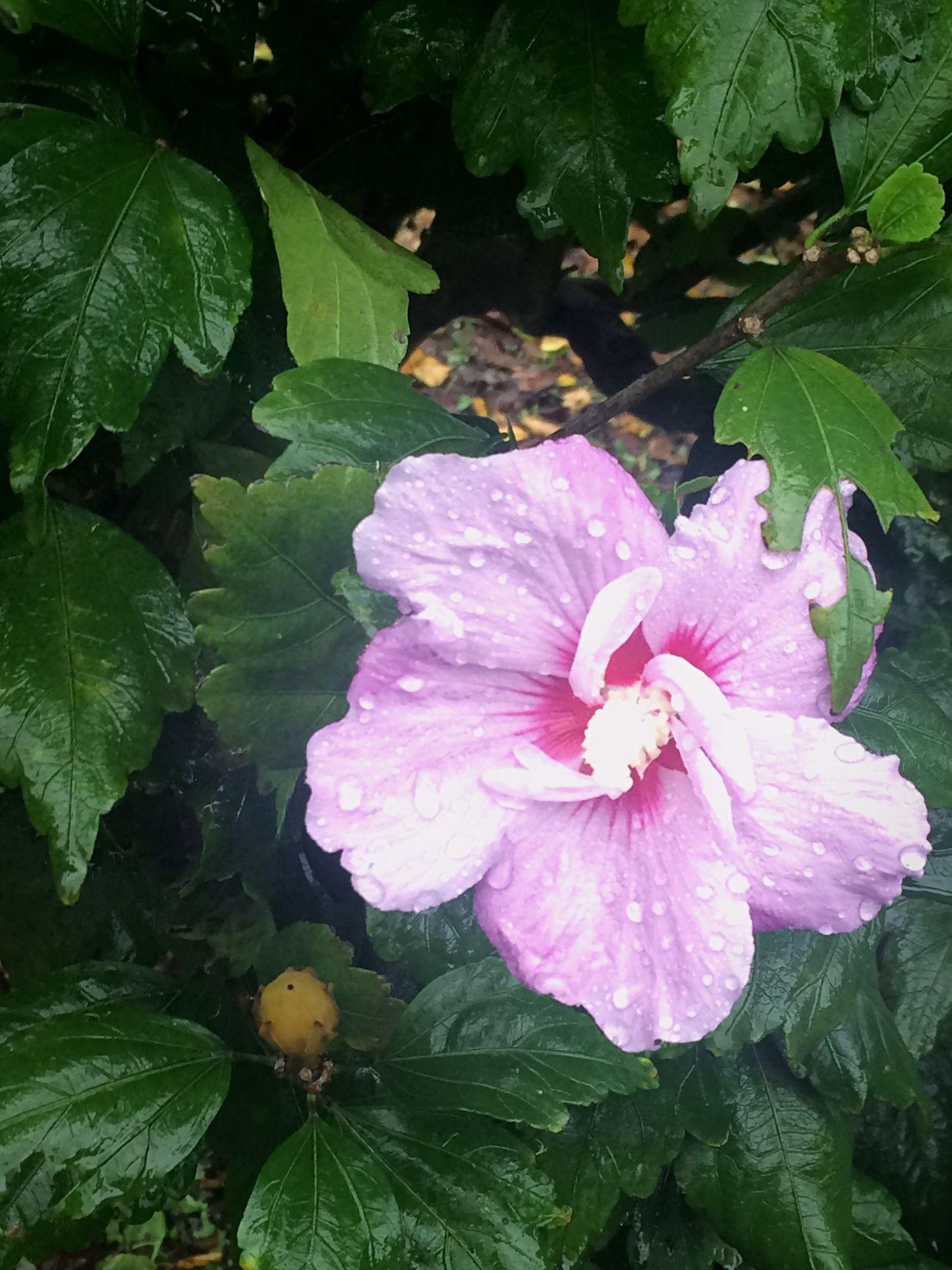Rose Of Sharon Flower Plant