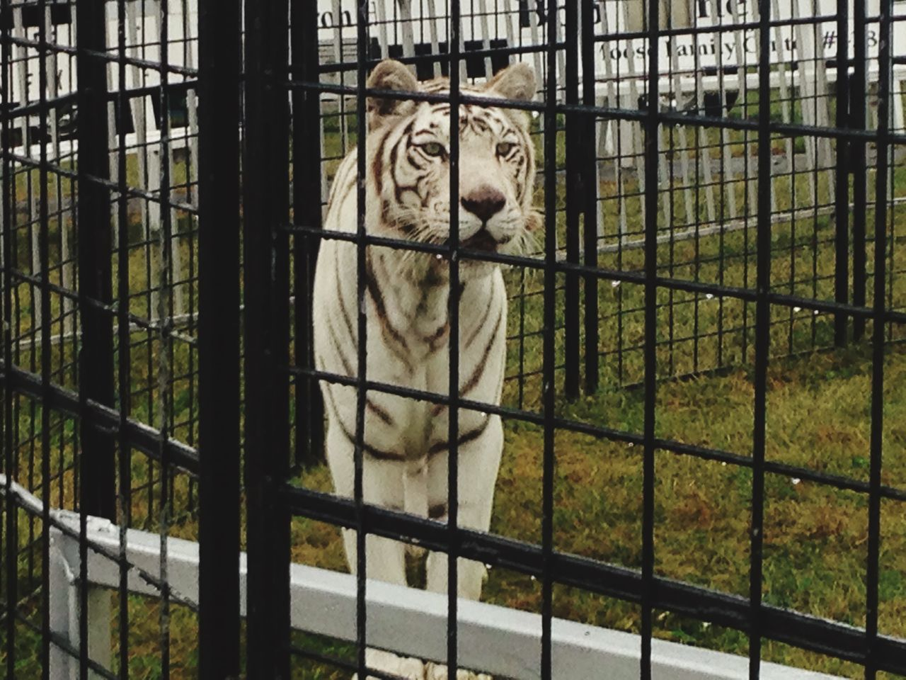 White Tiger Fair Fairground Attraction Check This Out Hello World