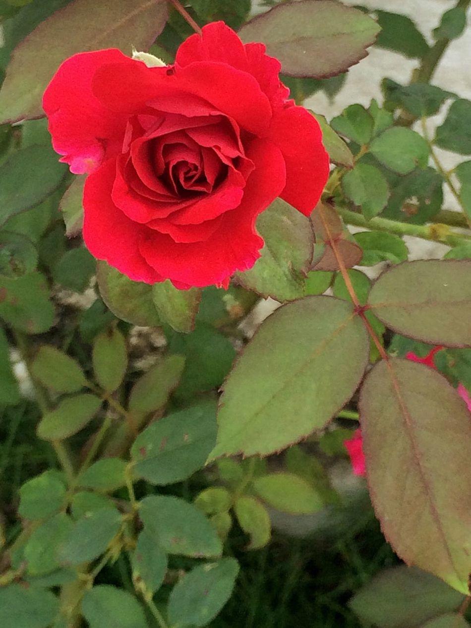 RedFlower Roseflower 😍😘❤️ February 2016 LoveMonth