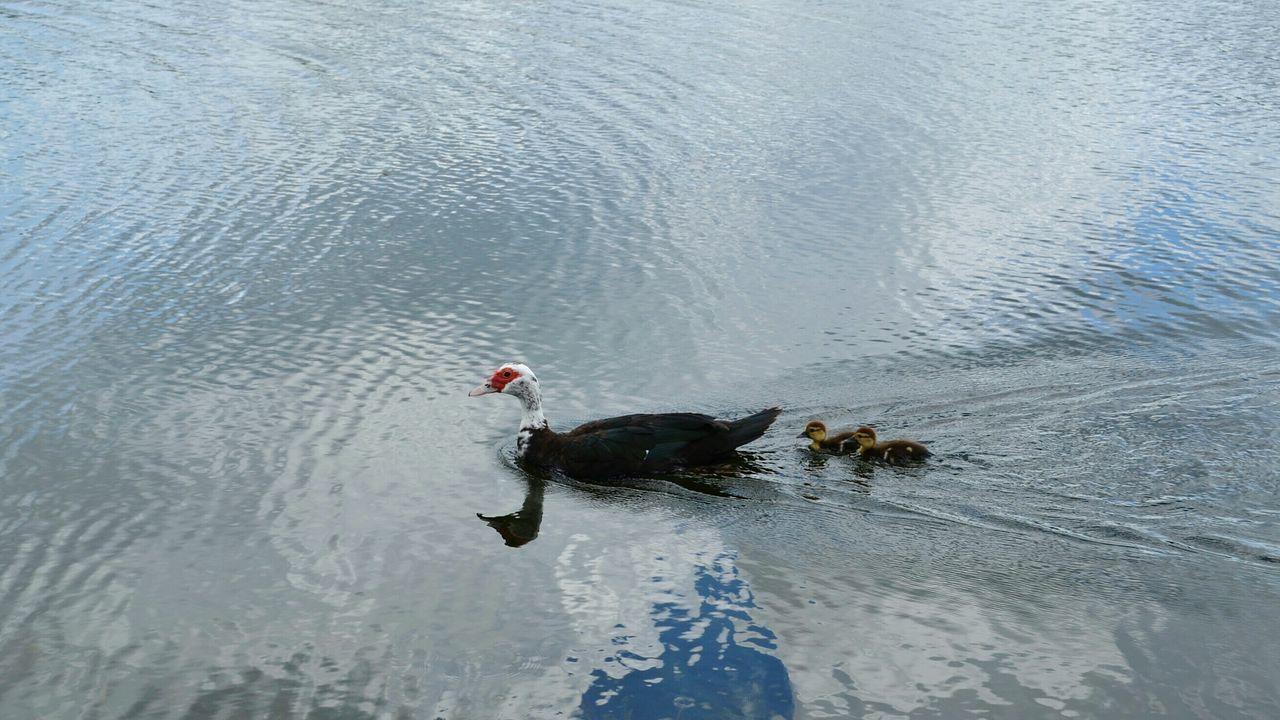 Beautiful stock photos of enten, Animal Themes, Animals In The Wild, Bird, Day