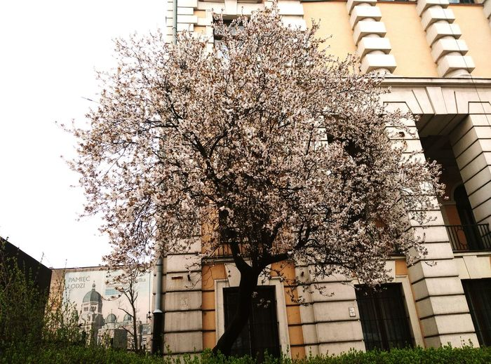 цветущее дерево дерево