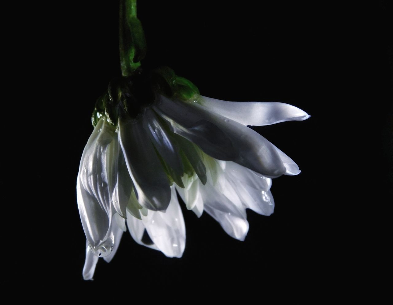 Close-Up Of Wet White Flower Against Black Background