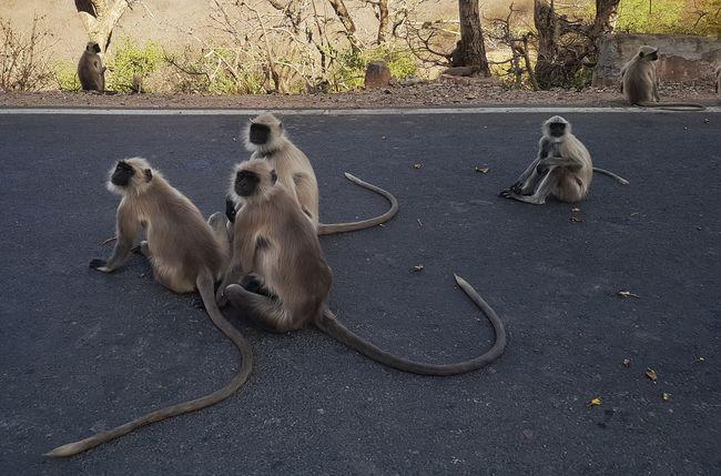 Up Close Street Photography Monkeys Langur Streetphotography Road Travel Jaigarh Fort Jaipur Tail Rajasthan India Animals The Street Photographer - 2016 EyeEm Awards