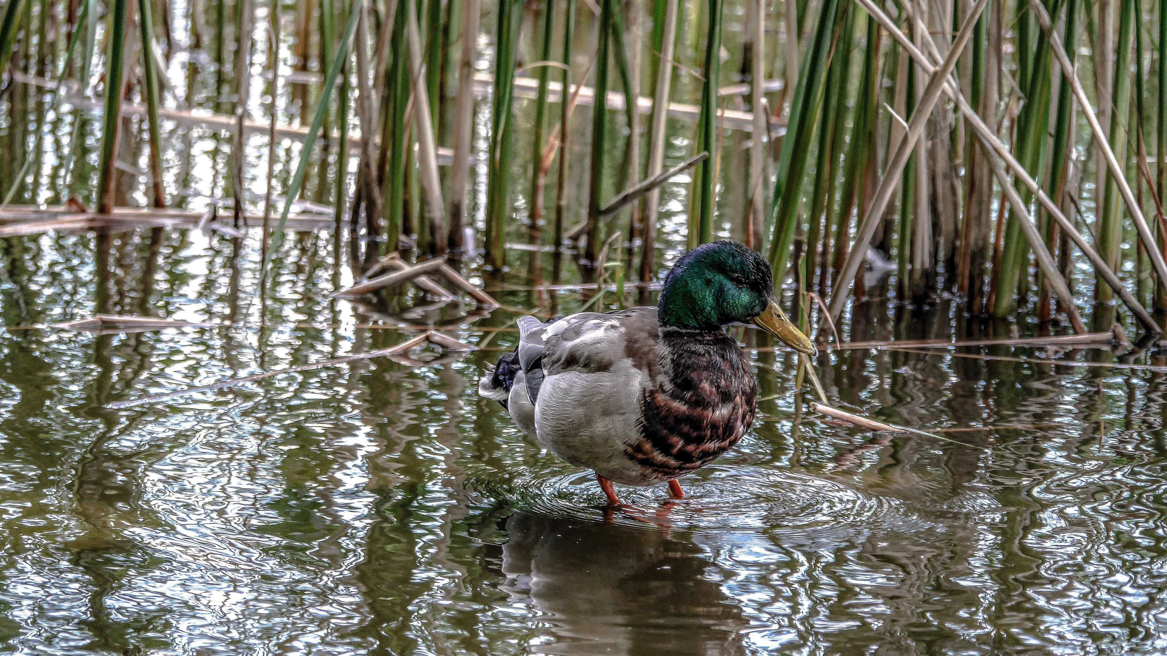 animals in the wild, animal themes, duck, water, lake, bird, nature, animal wildlife, one animal, reflection, swimming, water bird, mandarin duck, day, no people, outdoors, beauty in nature