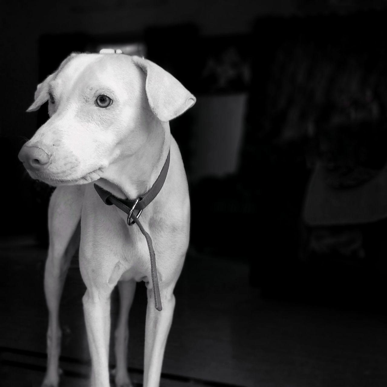 EyeEm Selects Dog Pets One Animal Domestic Animals Animal Themes Mammal Pet Clothing No People Day Outdoors Dogs Dogs Of EyeEm Dogslife Black & White Bnw Blackandwhite India Monochrome