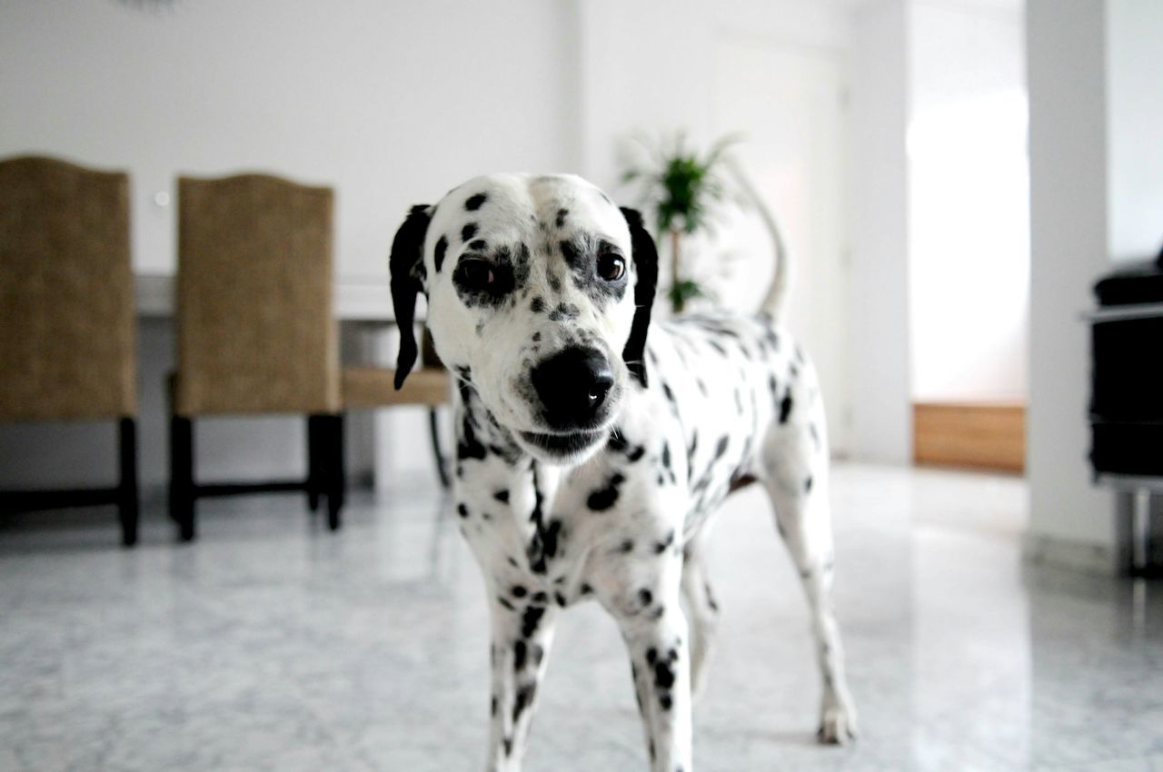 Dalmatian Pets Pets Corner Pet Photography  Pet Dog Love Dog I Love My Dog