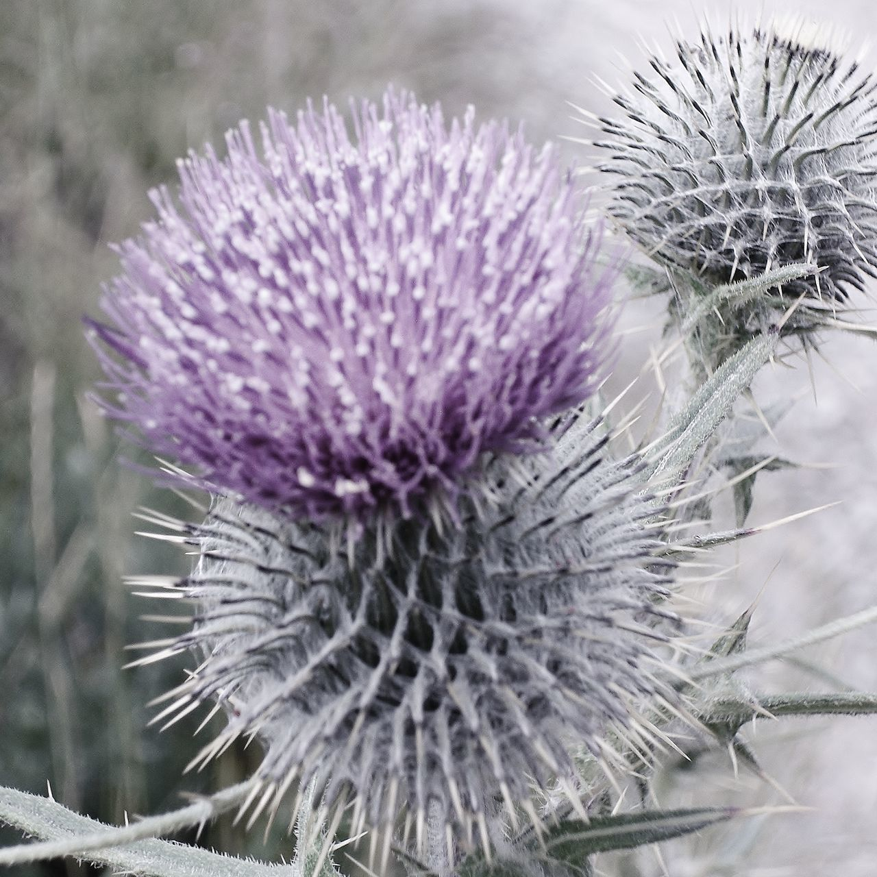 Thistle head Beauty In Nature Close-up Day Emblem Of Scotland Flower Head Focus On Foreground Muted Color Plant Purple Scottish Single Flower Spiked Thistle Thorn Uncultivated