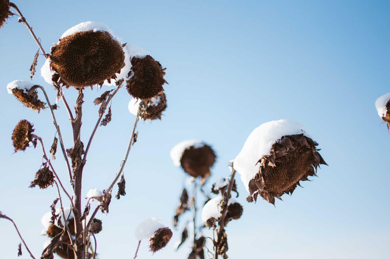 View Of Snow Covered Sunflower Against Sky