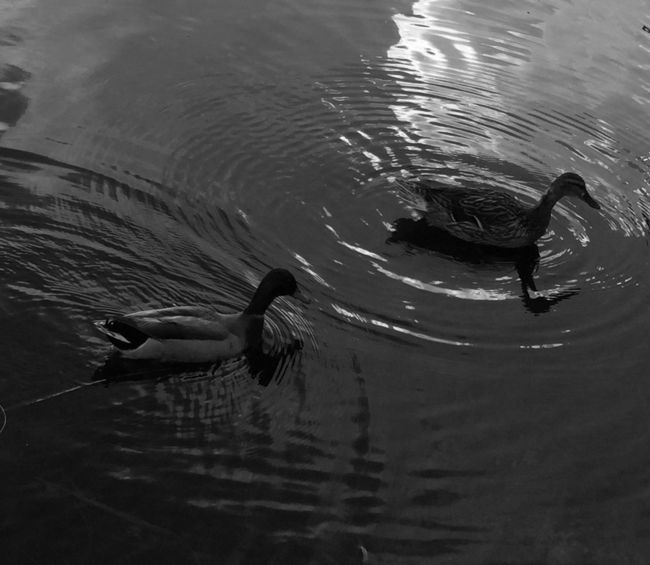 Ducks Mallard Pond Water Ripples Water Fowell Orlando Florida Nature