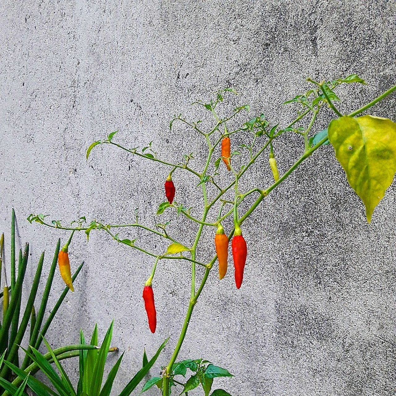 Chillies 🌱♨🔥 The Following Feel The Journey Plants 🌱 HotChilli Hot Garden Nature Healthylife First Eyeem Photo Color Portrait Colour Of Life EyeEm Eyeemphoto