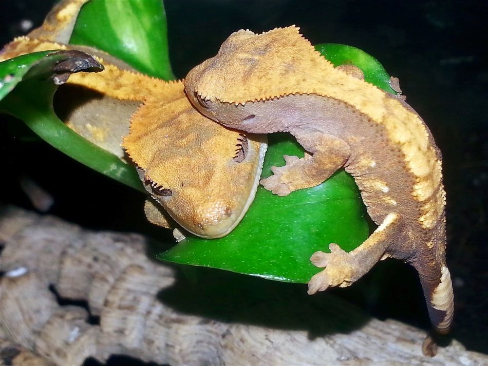 2 sleeping crested gecko babies. Sleeping Babies Animal Themes Close-up No People Reptile Nature Animal Photography Exotic Creatures Wonderful Nature Special_shots God's Beauty Check This Out Jurassic World Of Dino's Real Life Hello World Dreaming Two Animals Sleeping Animals Sleeping Beauty Exotic Animals Fantastic Crestedgeckos Dino's Photography Baby Photography Born To Be Beautiful