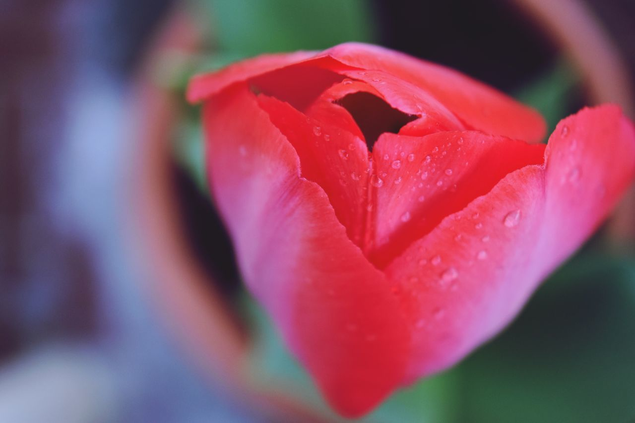 Flower Beauty In Nature Drop Blooming Flower Head Plant Close-up Wet Focus On Foreground No People Freshness Nikon Photography Nikon_photography Nikon NikonD5500 Nikonphotography Eye4photography  Growth Tulip Spring Beautyinnature