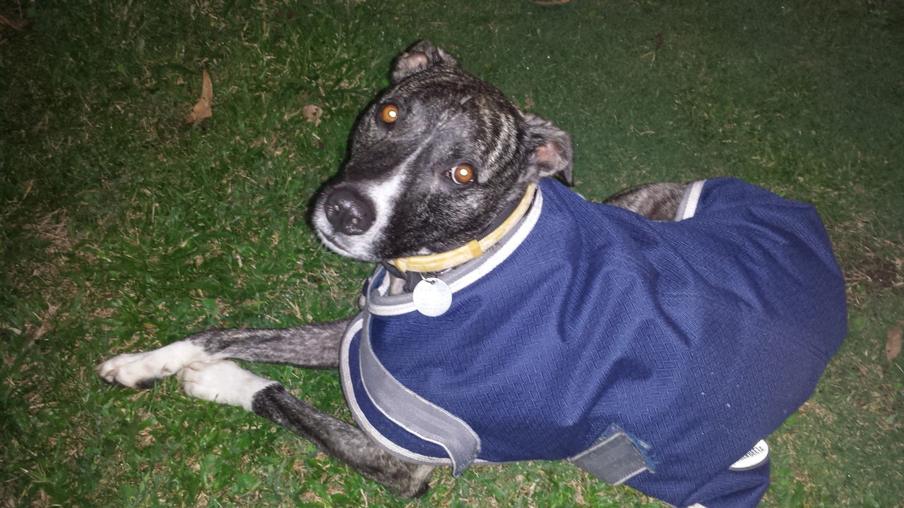 Adoration Australia Blue Dog Dog Coat Dog Collar Grass Grey-dog Love Lying Down Pet Collar Pets Resting White Paws