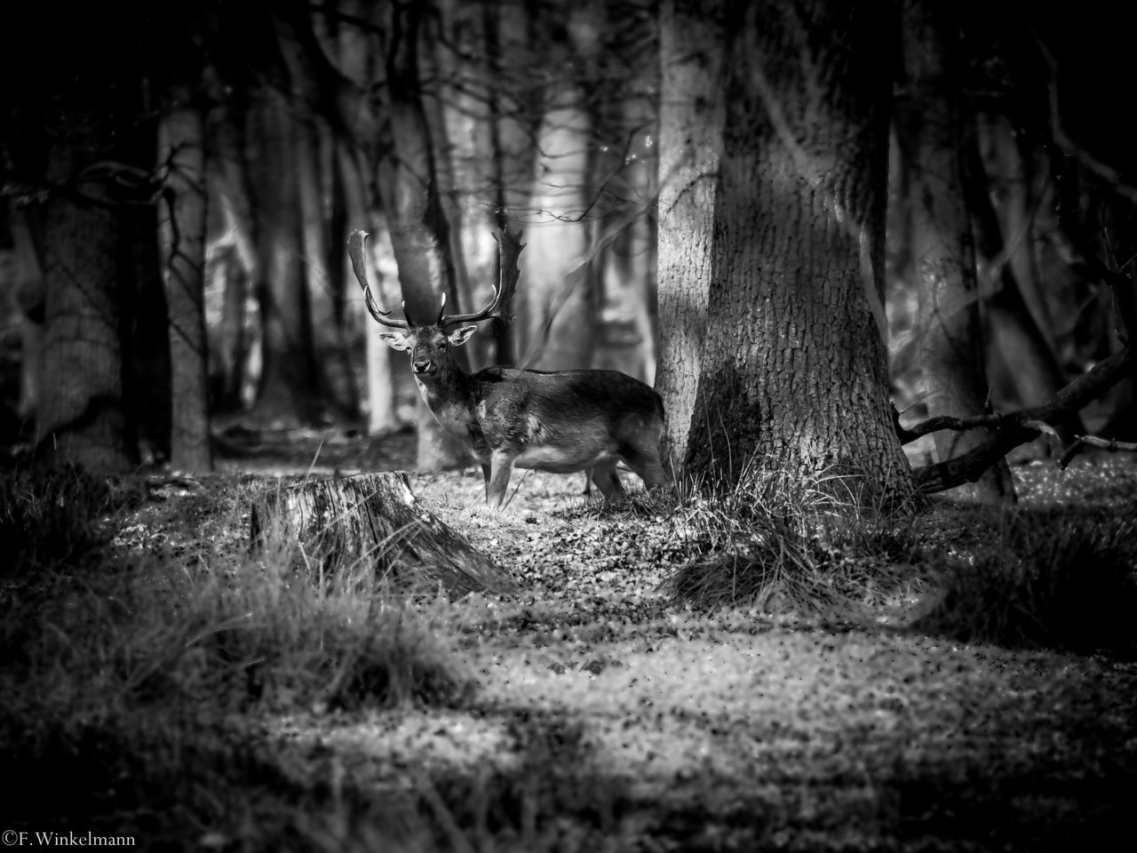 Nature Forest Blackandwhite Black And White Black&white Black And White Collection  Black And White Photography Deer Sighting Deers Nature Beauty Peace Deer Deers Animals In The Wild Animal Wildlife Animals