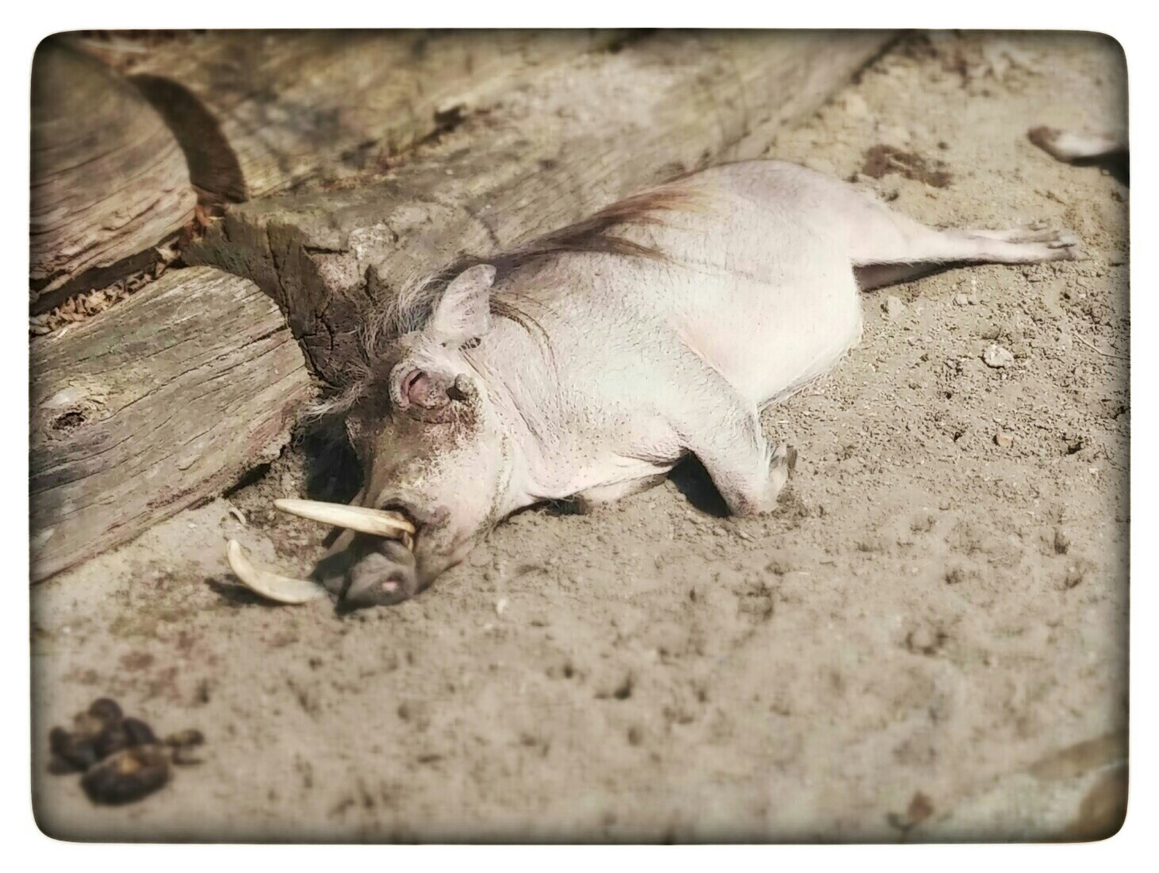 transfer print, animal themes, one animal, auto post production filter, wildlife, high angle view, dead animal, animals in the wild, ground, close-up, zoology, day, nature, outdoors, no people, death, dirt, dry, sand, stone - object