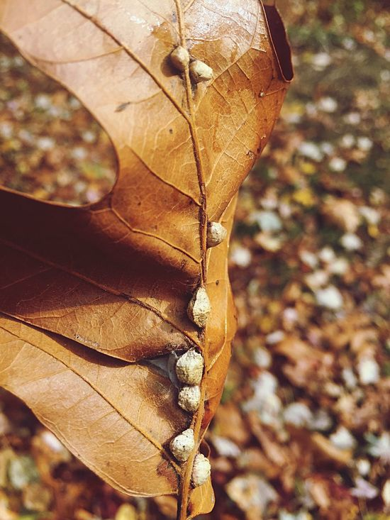 Leaf Autumn Change Dry Nature Leaves Outdoors Day Close-up Focus On Foreground Maple Maple Leaf No People Fragility Eggs... Spider Eggs Beauty In Nature Tree