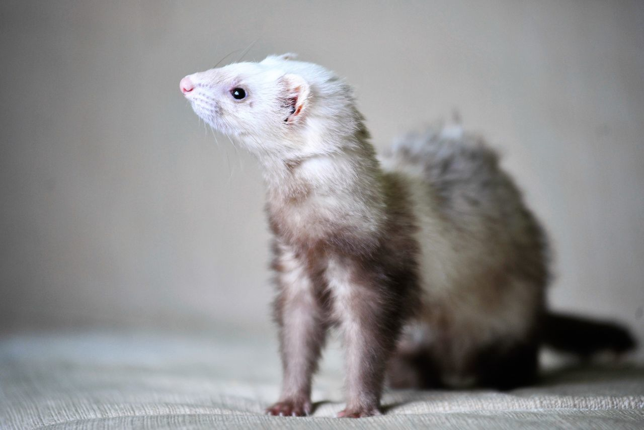 Close-Up Of Ferret Looking Away