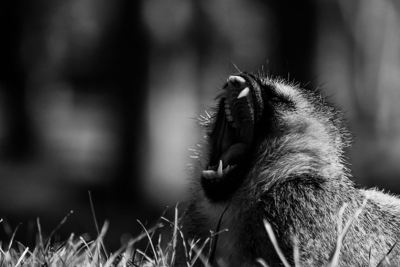 Vervet monkey, Lake Naivasha, Kenya. One Animal Nature Monochrome Landscape Black & White Blackandwhite Animals In The Wild Outdoors Nikonphotographer Nikon Travel Travel Photography Kenya Africa Wildlifephotography Wildlife & Nature Wildlife Animal Wildlife Monkey Lakenaivasha