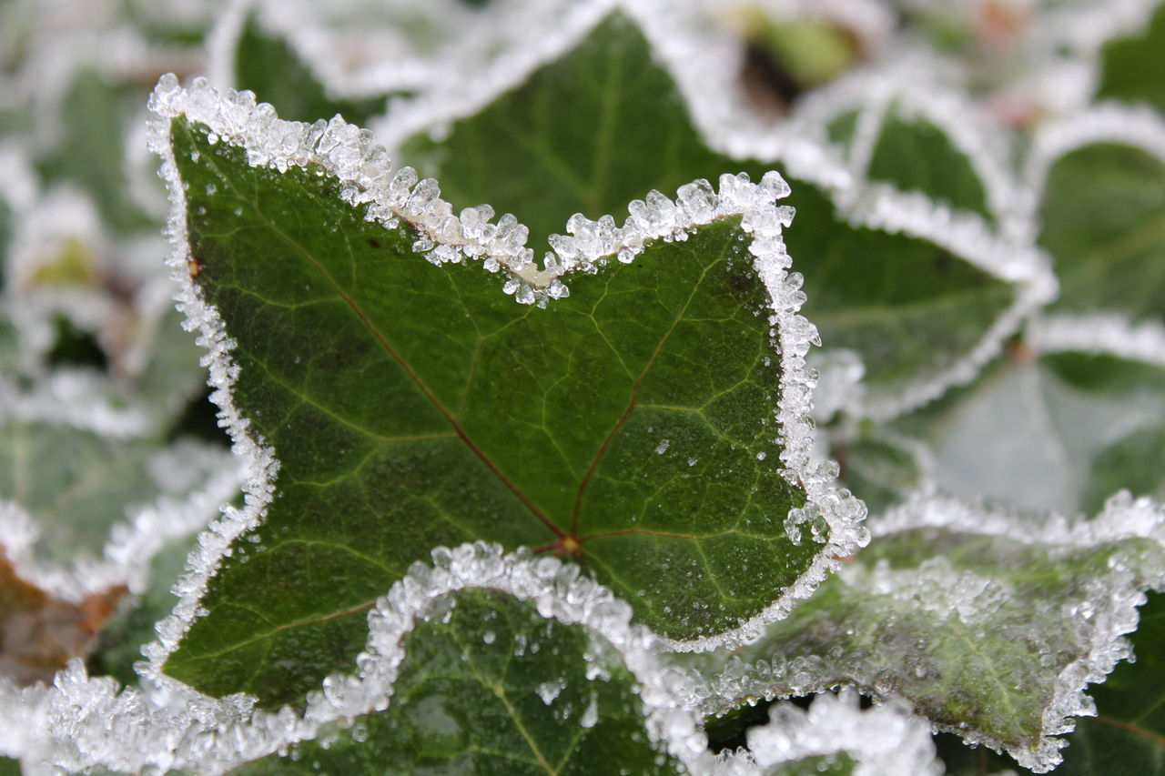 leaf, cold temperature, winter, ice, nature, green color, frozen, snow, close-up, beauty in nature, weather, drop, water, fragility, focus on foreground, day, white color, no people, plant, freshness, frost, growth, ice crystal, outdoors