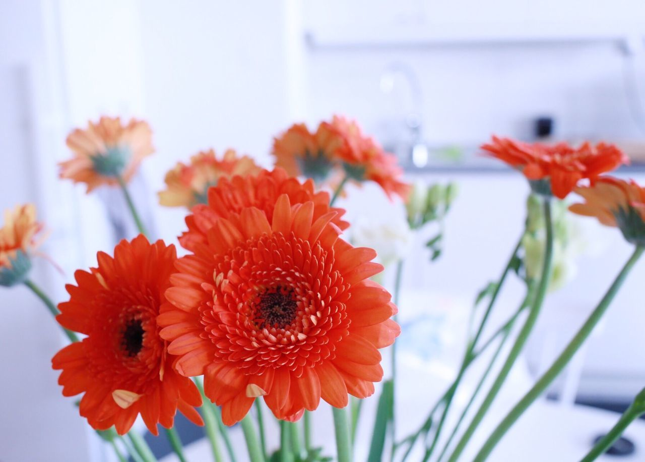 Flower Fragility Petal Beauty In Nature Nature Freshness Flower Head Growth Focus On Foreground Close-up Red Plant Blooming No People Pollen Day Indoors  Gerbera Daisy Dahlia