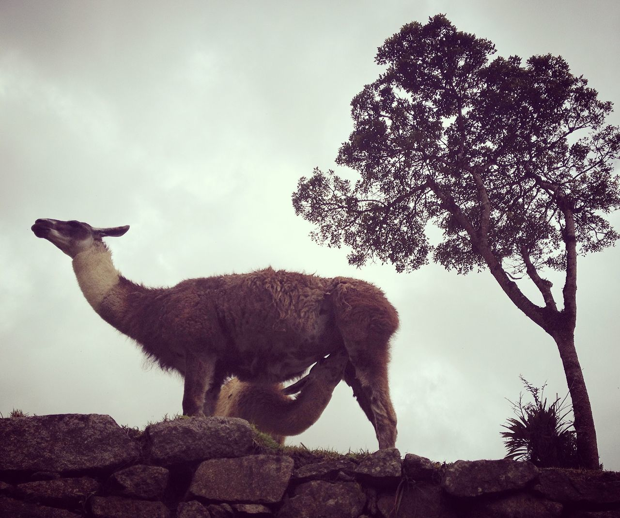 Llama Motherlove Machu Picchu