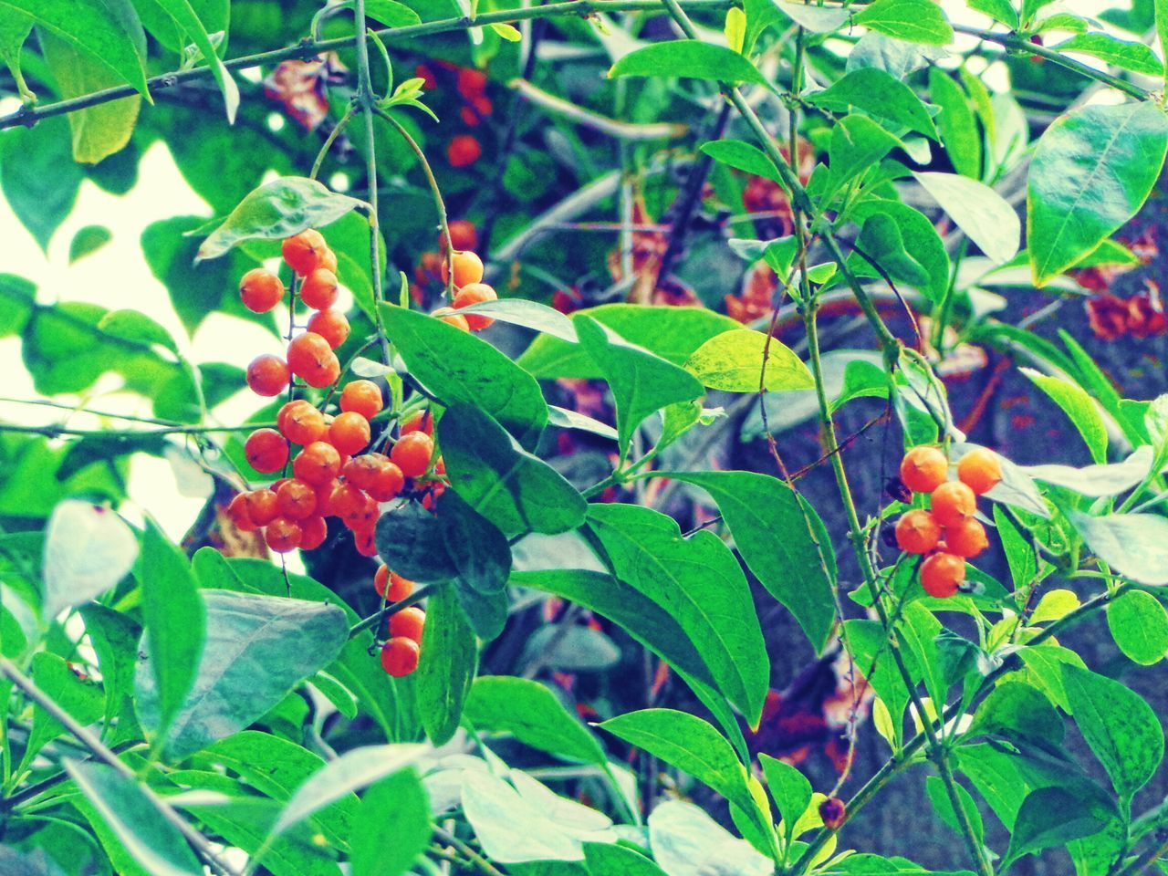 Growth Leaf Tree Fruit Green Color Nature Food And Drink Freshness Focus On Foreground Growing Close-up No People Outdoors Food Day Beauty In Nature Rowanberry