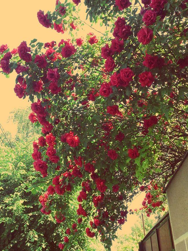 Outdoors Nature Freshness Backgrounds Growth Day Red Roses Flowers,Plants & Garden Flowers Flowers, Nature And Beauty Urban City City Street Oradea Oradea,România Bihor Nagyvárad Garden Natural First Eyeem Photo EyeEmNewHere