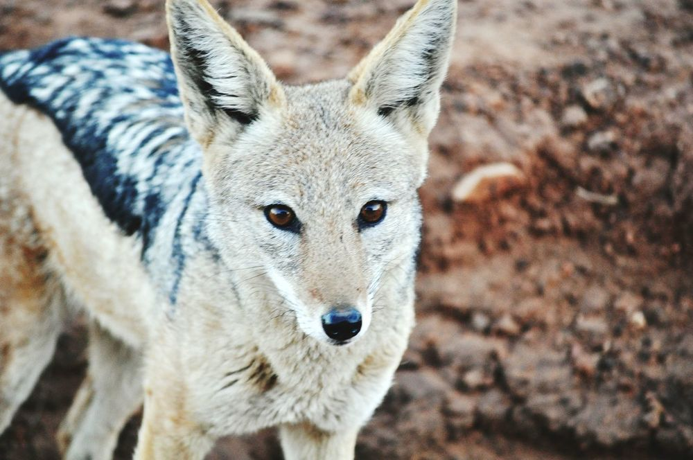 Jackal Mammals Africa African Beauty Southafrica Krugernationalpark Savannah Safari GameDrive Eyes Eyes Are Soul Reflection