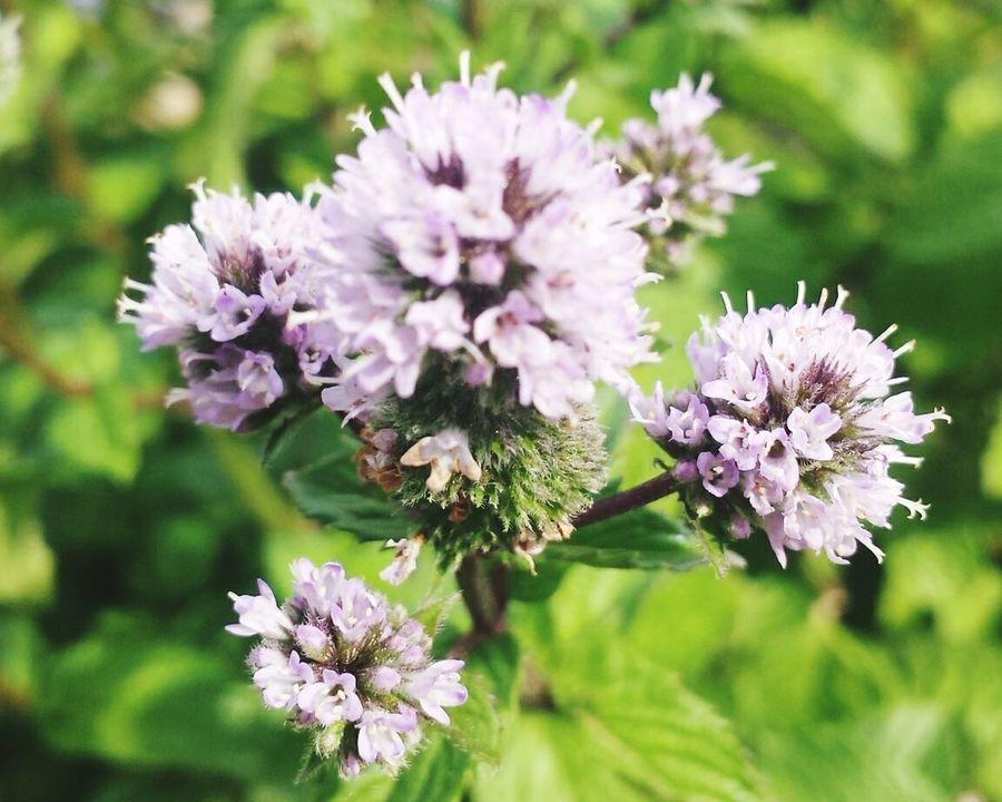 Minze Blüte Flowers,Plants & Garden Flower Pfefferminze Summer Views Pastel Power