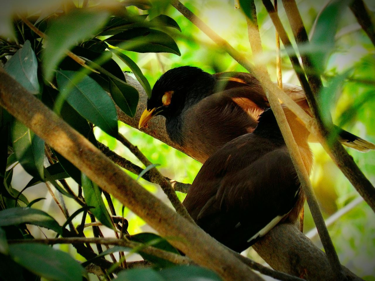 Birds Couple Of Birds Indian Myna Birds Of EyeEm  Bird Watching Birds Eye View Birds_collection Bird Photography Nature Beautiful Outdoors Hello World Best  Cute Animals Nature At Its Best Cute♡ 2016 EyeEm Best Shots New On Eyeem Cute Bird🐥 Birds🐦⛅ Photos Around You Photo Colorful Bestoftheday