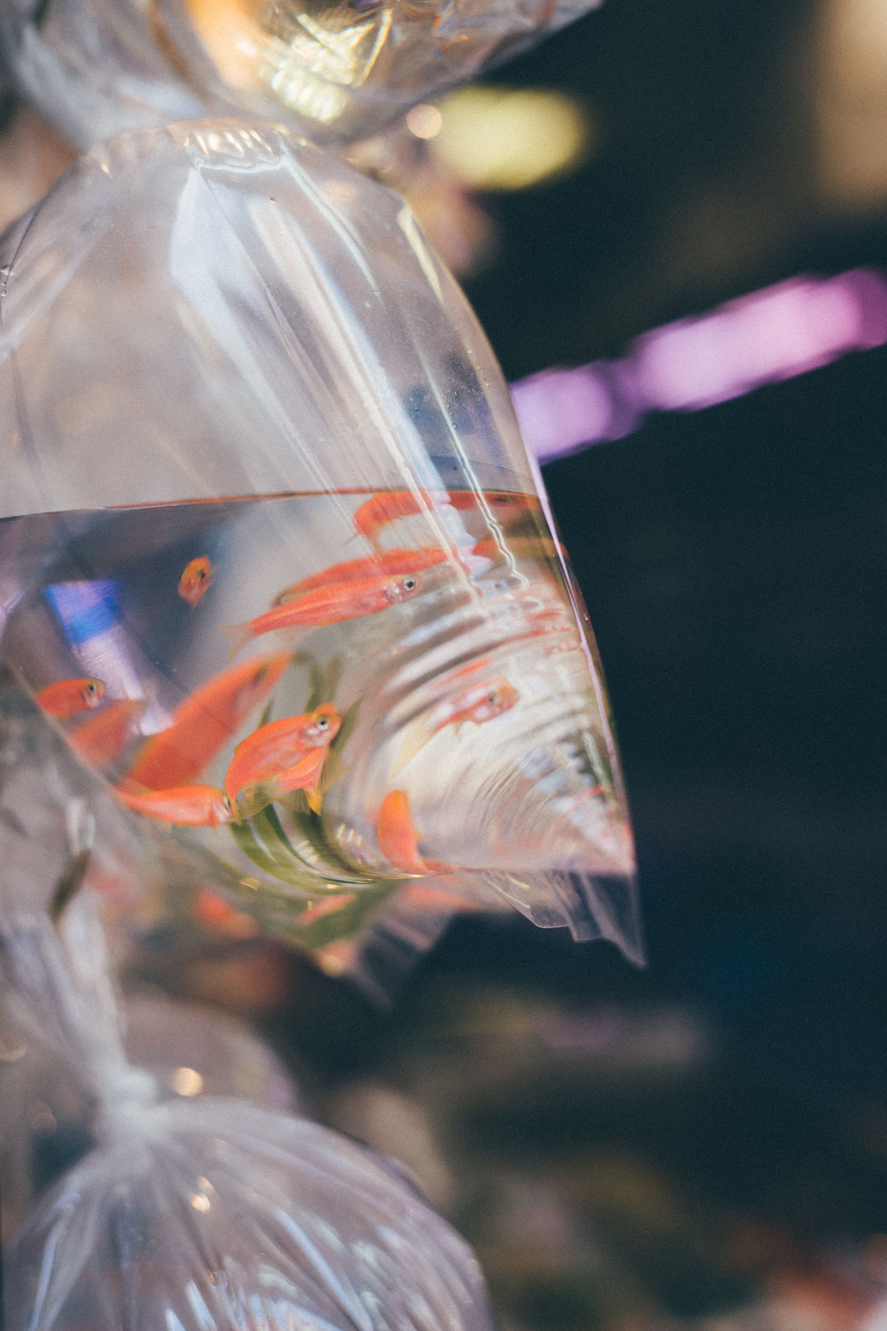 Animal Themes Close-up Day Fish Gold Goldfish Goldfish In Water Nature No People Outdoors