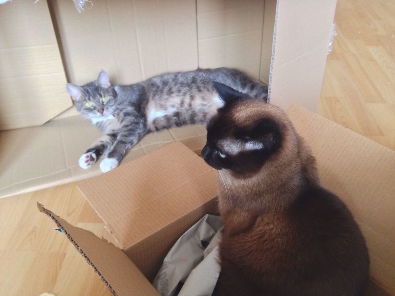 Domestic Cat Pets Feline Mammal Domestic Animals Cat Cardboard Box Animal Themes Indoors  Box - Container One Animal Sitting Relaxation No People Cats Playing Two Cats Siamese Cat